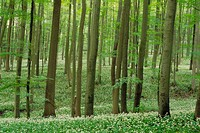 Ramson in spring forest. (Allium ursinum). Hainich National Park, Thueringen, Germany