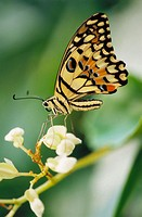 Swallowtail butterfly (papilio demdeus)
