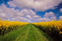 Path through rape field. Ruegen island, germany