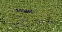 africa, kenya, masai mara national reserve, hippopotamus