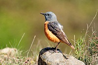 Rock Thrush (Monticola saxatilis)