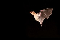 Lesser Long-nosed Bat (Leptonycteris curasoae). Endangered species