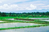Panoramic view of a rice paddy field, Bali, Indonesia