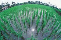 High angle view of rice crops in a field