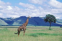 Giraffe standing in a field