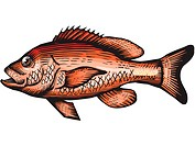 A drawing of a red snapper