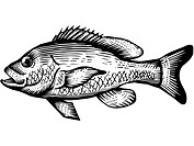 A black and white drawing of a red snapper
