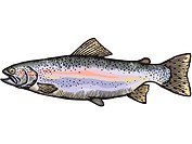 A drawing of a rainbow trout