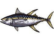 A drawing of a yellow fin tuna