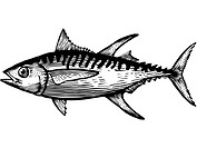 A black and white drawing of a yellow fin tuna
