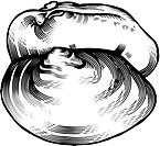 A black and white drawing of a clam
