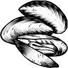 A black and white illustration of blue mussels