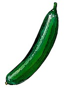 An illustration of a Cucumber