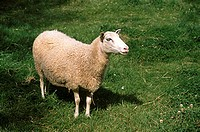 Pet , Sheep , Sweden