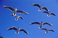 Birds , Seagull Larus Ridibundus Linnaeus Flying ,