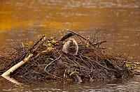 American Beaver (Castor canadensis). Oxbow bend, Snake River, Grand Teton NP, Wyoming, USA (october 2006)