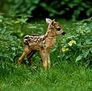 Roe, Deer, fawn, Capreolus, capreolus