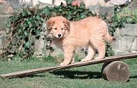 Sheeppoodle,, puppy,, 9, weeks,, on, seesaw,, Old, German, Shepherd, Dog