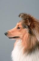 Shetland, Sheepdog,, Sheltie,, side,, profile