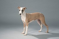 Whippet,, 5, month