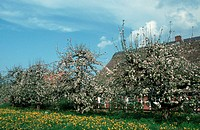 Apple, trees, in, blossom, Germany