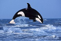 Orca,,, Orcinus, orca