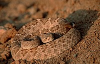 Western, Diamondback, Rattlesnake, Saguaro, national, monument, Arizona, USA, Crotalus, atrox