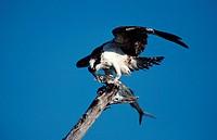 Osprey, with, fish, Sanibel, Island, Florida, USA, Pandion, haliaetus