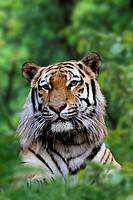 Siberian, Tiger,, Panthera, tigris, altaica