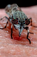 Cleg-fly, female, Belgium, Haematopota, pluvialis, Crysozona, pluvialis