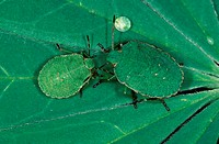 Common, Green, Shield, Bugs, Belgium, Palomena, prasina
