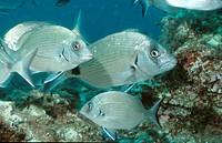 White, Seabreams, Mediterranean, Sea, Diplodus, sargus