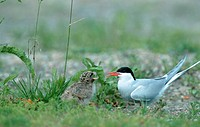Arctic, Tern, with, chick, Norway,, Sterna, paradisaea