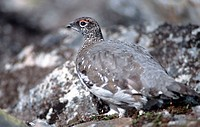 Rock, Ptarmigan, Dovre, Fjell, Norway,, Lagopus, mutus