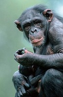 Chimpanzees, female, with, young,, Pan, troglodytes
