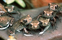 Young, Common, Toads,, Lower, Saxony,, Germany,, Bufo, bufo