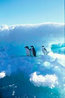 Adelie, Penguins, Antarctica, Pygoscelis, adeliae
