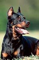 Beauceron,, Berger, de, Beauce,, cropped, ears