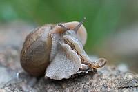 Garden Snail (Helix sp.).
