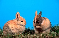Lop-eared, Dwarf, Rabbit