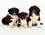 Border, Collie, puppies