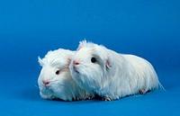Coronet, Guinea, Pigs,, white
