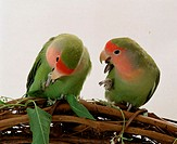 Peach-faced, Lovebirds, pair, Agapornis, roseicollis