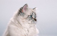 Colorpoint, Persian, Cat,, tabby-point