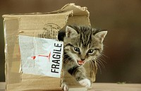 Domestic, Cat, kitten, coming, out, of, cardboard, box