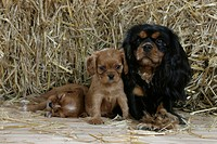 Cavalier, King, Charles, Spaniel,, bitch, with, puppies,, 6, weeks