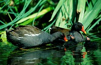 Moorhens,, pair, with, youngs,, North, Rhine-Westphalia,, Germany,,, Gallinula, chloropus