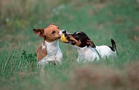 Jack, Russell, Terrier,, pair, with, ball