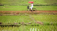 Woman on a bicycle in a ricefield. Hanoi. Vietnam.