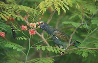 White Crowned Parrot Pionus senilis Honduras South America